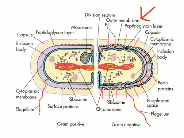 Gram-negative Bacterium Diagram