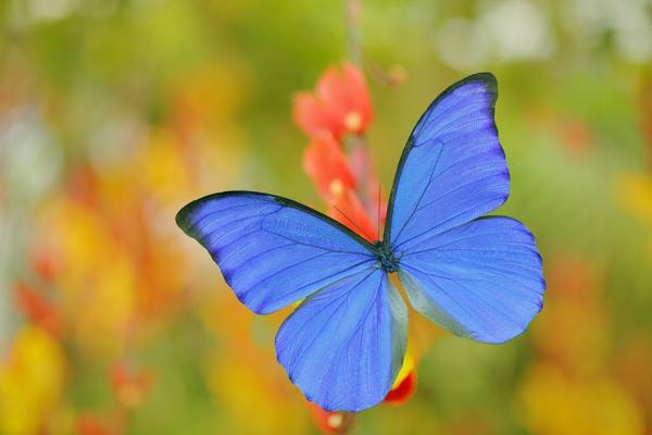 A photo of a blue butterfly