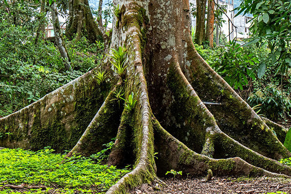 tree root in Amazon rainforest in Ecuador