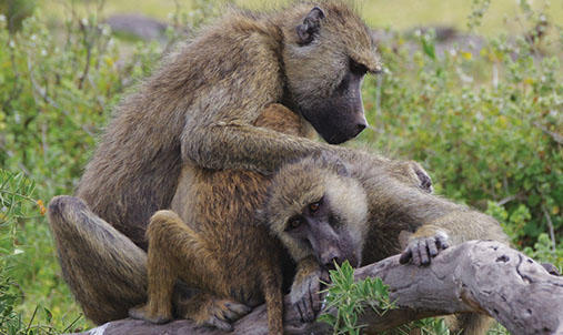 Three baboons grooming on a log.