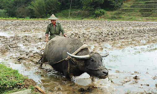 A yak and man working in a water filled field.