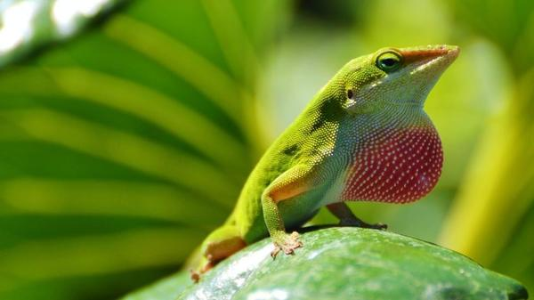 Image of anoles lizard