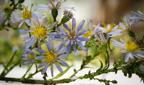 Photo of Aster flower in the Glass Flowers Gallery