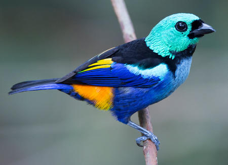 Avian Coloration