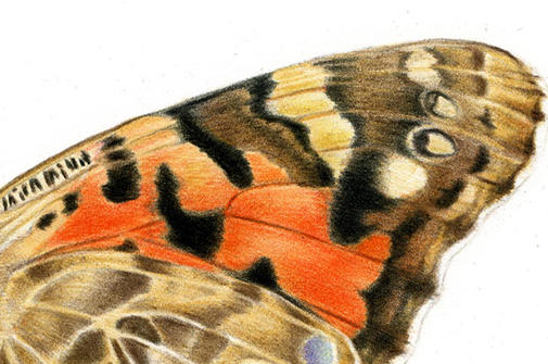Close up of a drawing of a butterfly wing.