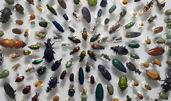 Coleoptera beetles in the Arthropods Gallery