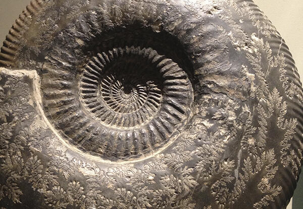 Spiral fossilize ammonite.