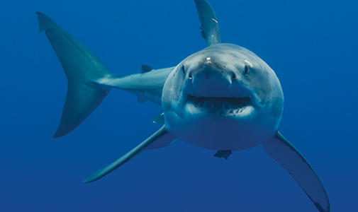Living with White Sharks Lecture Image with Gregory Skomal