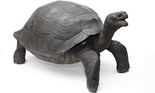 Galapagos Turtle for the Members Event image