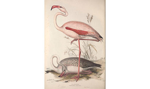 Two flamingos, one lying down one standing on one leg.