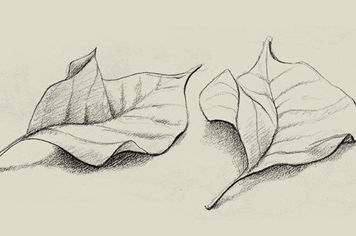 Two sketched leaves.