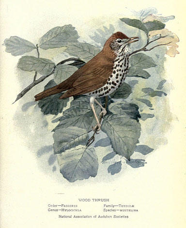 Painted illustration of a Wood Thrush, a small brown songbird with a spotted underside.