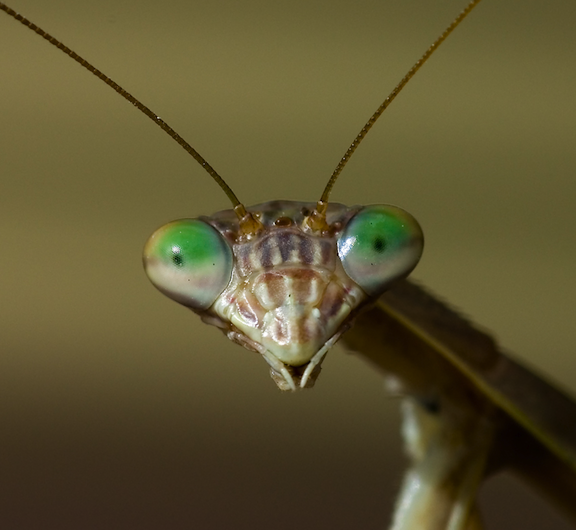 Face of a praying mantis.