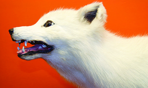 Image of the Arctic Fox by Christopher Hoodlet
