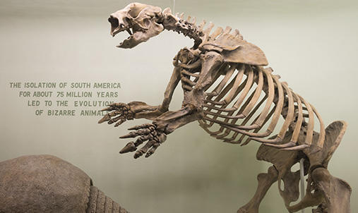 A fossil of a giant sloth.