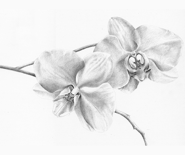 Pencil drawing of two flowers.