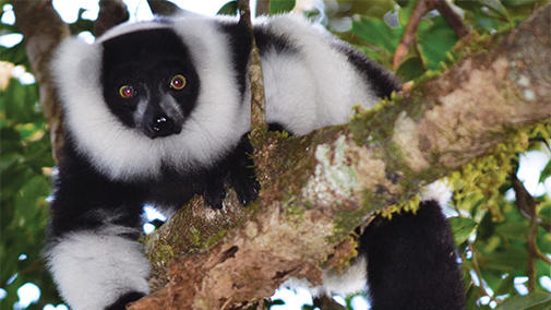 Image of a Lemur for lecture Lemurs: Endangered Gardeners of Madagascar's Rainforests