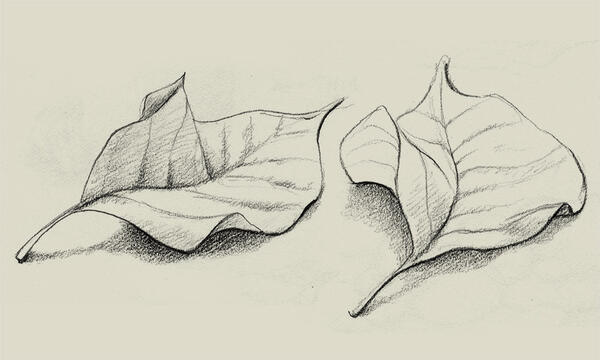 Pencil drawing of two leaves.