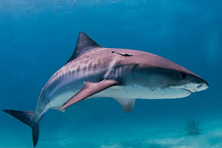 Tiger shark swimming in the deep blue sea.