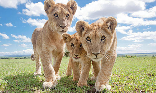 Three lion cubs looking at the camera.