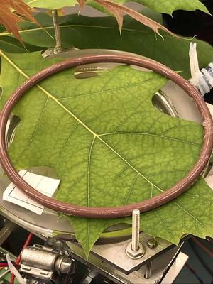 A photo of a large red oak leaf pinned underneath a metal ring