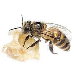 Image of a Honeybee for the Bee exhibit