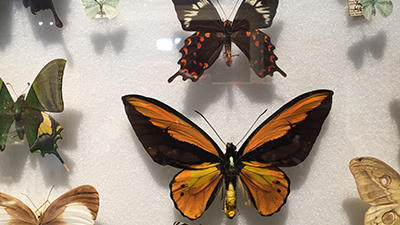 Butterflies for Arthropod exhibition