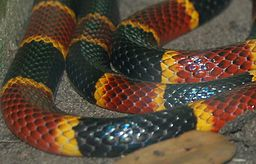 Black, yellow, and red snake curled.