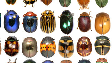 Rockefeller Beetles main exhibit page