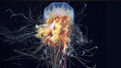 Photo of Lions Mane Jellyfish