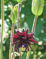 Mutant Aquilegia vulgaris 'Black Barton'