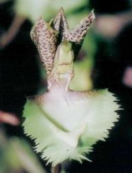 Catasetum fimbriatum- Photo by Dan Fulop