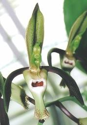 Catasetum incurvum- Photo by Dan Fulop