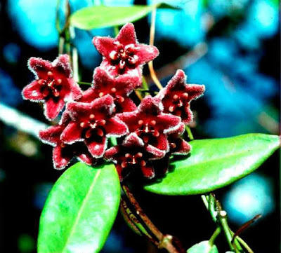 Photograph of red flowers, in the genus Hoya.