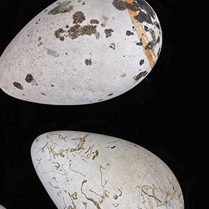great auk eggs