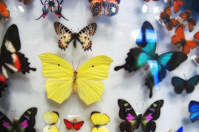 Drawing Butterflies and Moths in Colored Pencil at the Harvard Museum of Natural History