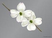 Dogwood Color Image