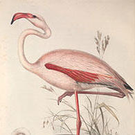 Drawing of a flamingo.