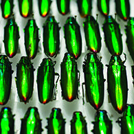 The Rockefeller Beetles Photo by Stephanie Mitchell