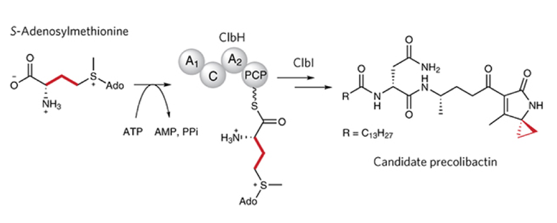 """Colibactin assembly line enzymes use S-adenosylmethionine to build a cyclopropane ring"""