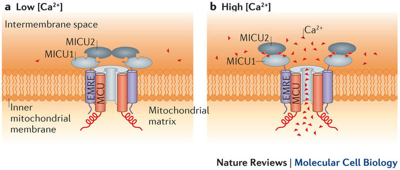 Regulation of the uniporter by calcium