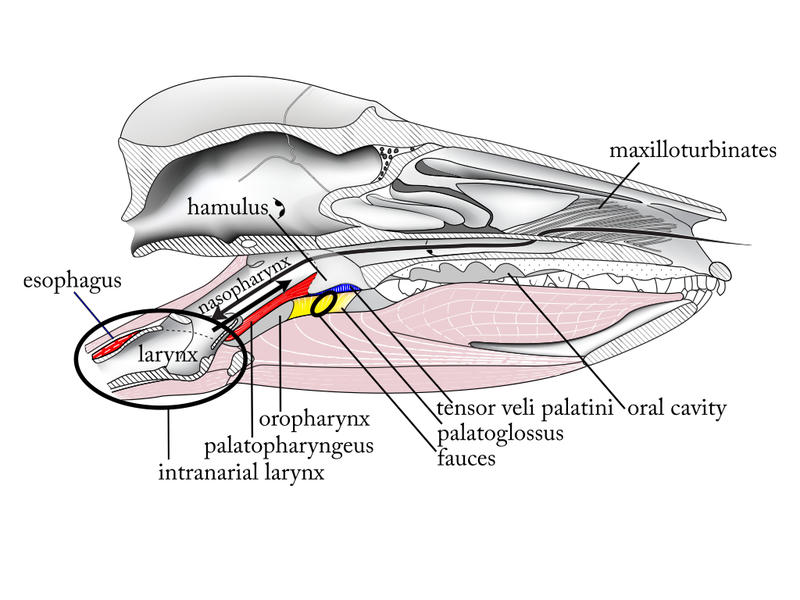 Pharyngeal muscles in an opossum