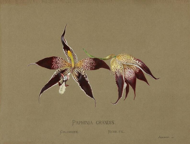 "Gouache painting of a purple and yellow orchid, labeled ""Paphinia Grandis."""