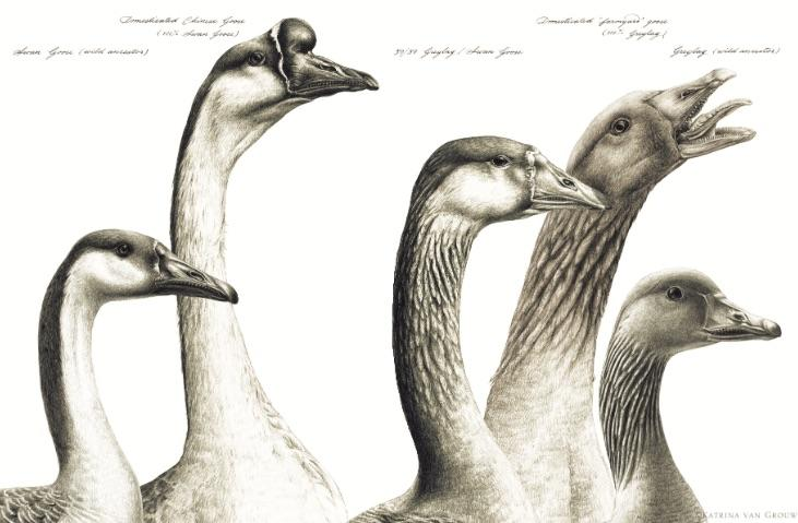 drawing of geese
