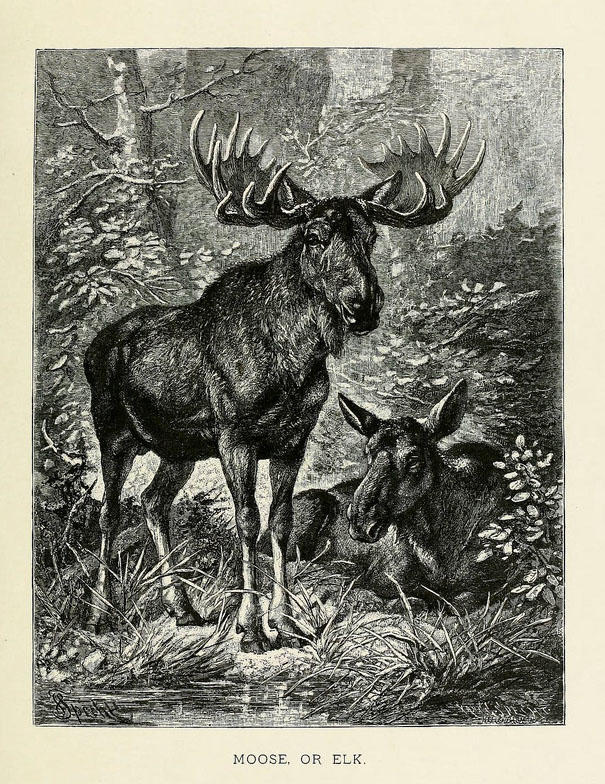 A black and white illustration of two moose, a male with antlers standing in front of a female.