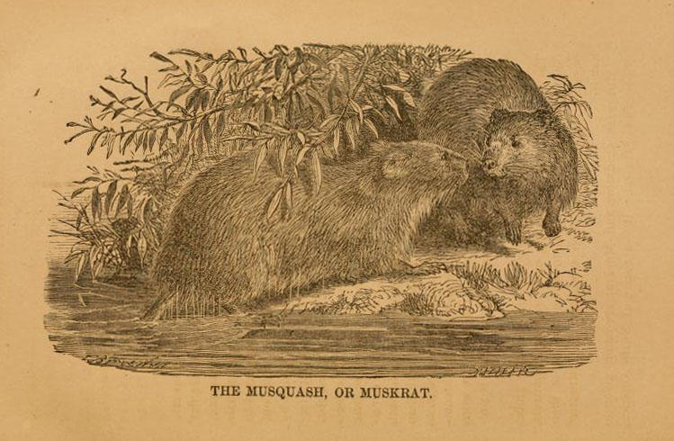 Illustration from 'Natural history of western wild animals and guide for hunters, trappers, and sportsmen' by David W. Cartright and Mary F. Bailey. Toledo, Ohio, Blade Printing & Paper Company, 1875.