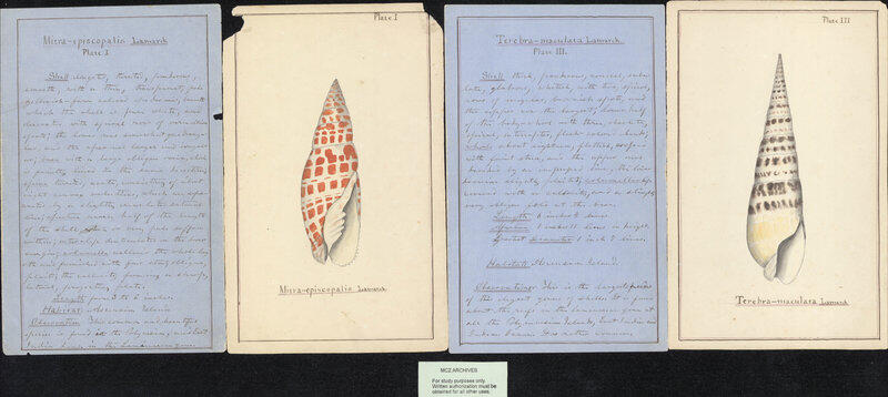 color illustration of shell species and handwritten notes