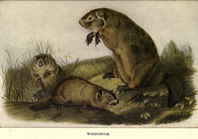 Illustration from 'Squirrels and other fur-bearers' by  by John Burroughs. Boston; Houghton Mifflin company, 1909.