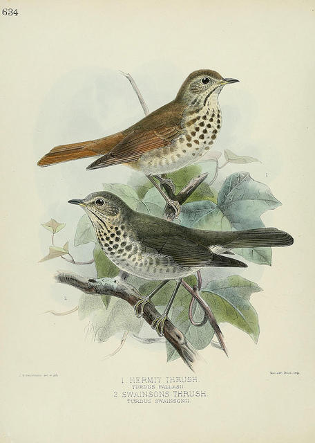 Painted illustration of two birds, a Hermit Thrush and a Swainson's Thrush.