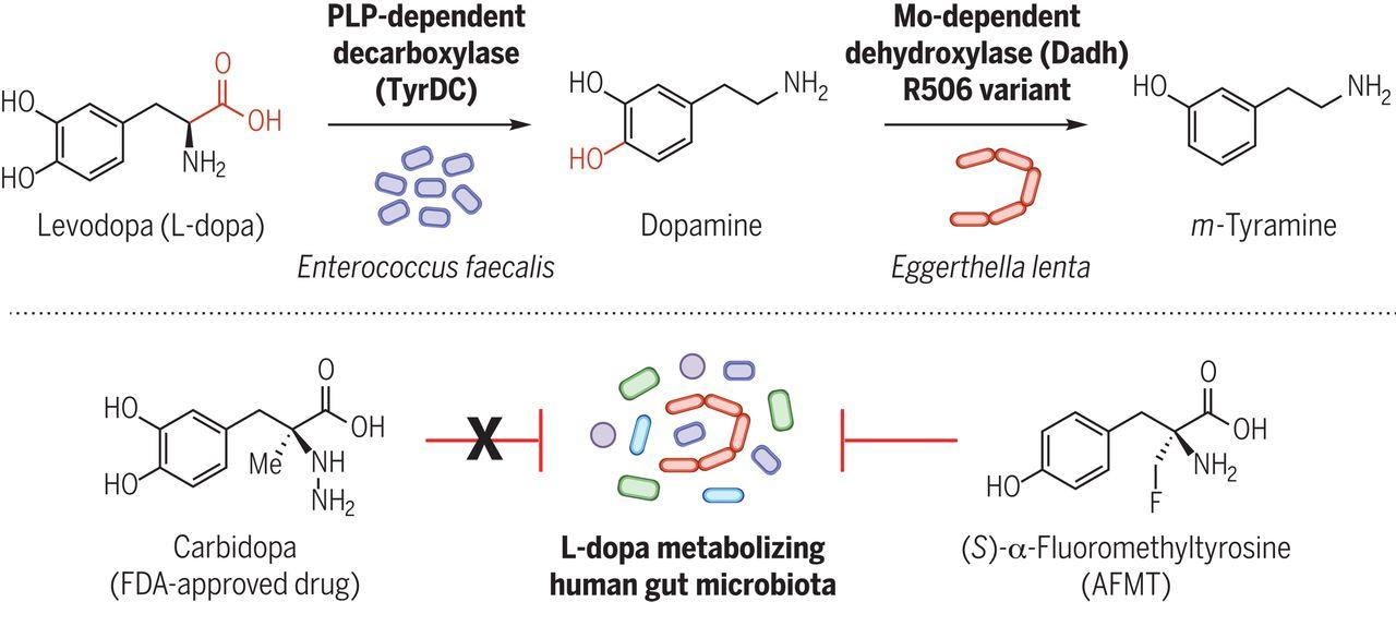 Gut microbes metabolize the Parkinson's drug L-dopa